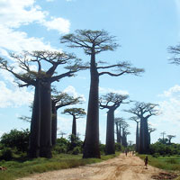 Avenue of the Baobabs in Morondava