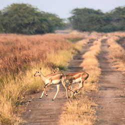 Black Buck National Park in Bhavnagar