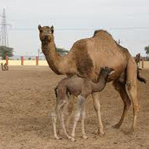 Camel Breeding Farms