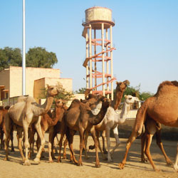 Camel Breeding Farms in Bikaner