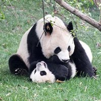 Chengdu Panda Base in Chengdu
