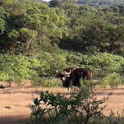 Dajipur Bison Sanctuary in Kolhapur