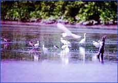 Kuala Gula Bird Sanctuary in Perak