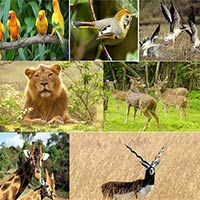 Gandhinagar - Indroda Nature Park - Nal Sarovar Bird Sanctuary - Blackbuck National Park - Gir Forest National Park - Lakhota Lake - Jamnagar - Ahmedabad
