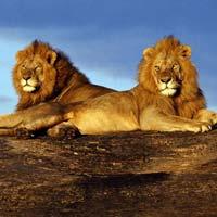 Nairobi - Masai Mara Game Reserve - Lake Naivasha/Lake Nakuru - Sweet Waters Chimpanzee Sanctuary