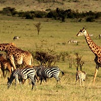Nairobi - Aberdare - Lake Elementaita - Masai Mara National Reserve