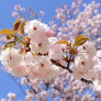 Tokyo - Mt. Fuji - Hakone - Kyoto - Nara - Hiroshima - Osaka - Cherry Blossoms sites