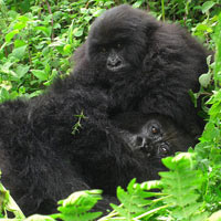 Kibale Forest National Park - Bigodi Swamp - Queen Elizabeth National Park - Bwindi Impenetrable National Park - Lake Mburo National Park