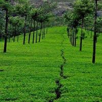 Calicut - Wayanad - Cochin - Munnar - Thekkady - Alleppey - Athirappilly
