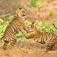 Chandrapur - Tadoba Andhari Tiger Reserve