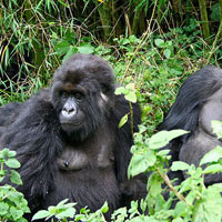 Gorilla Tracking in Parc National Des Volcans - Cultural Experience - Kigali