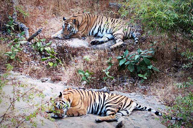 Ranthambhore National Park is one of the most well knows wildlife sanctuaries