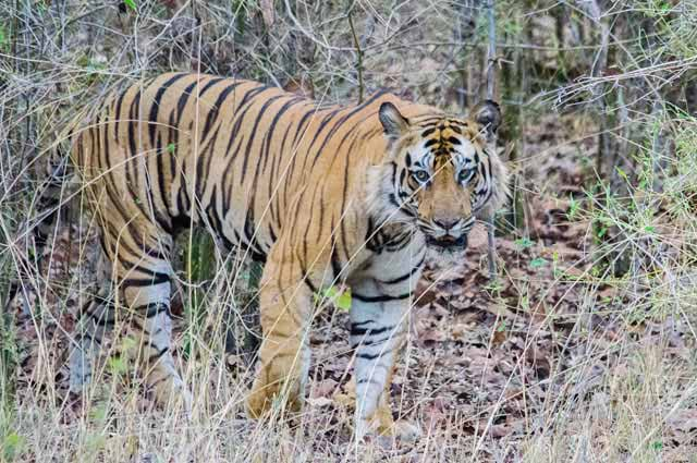 Bandhavgarh National Park is one of the most visited place to see in tigers