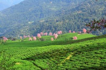 Timi tea garden