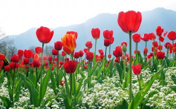TULIPS AT SRINAGAR