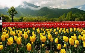 Tulip Garden of Kashmir