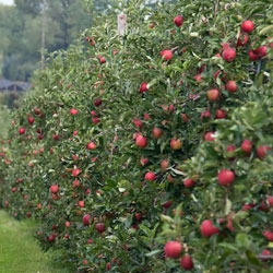 Apple Orchards in Bomdila