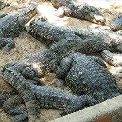 Crocodile Bank in Chennai