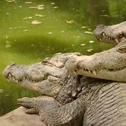 Crocodile Bank in Mahabalipuram