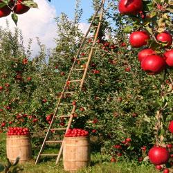 Fruit Orchards in Parwanoo