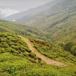 Happy Valley Tea Gardens in Darjeeling
