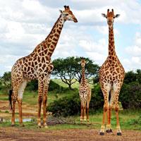 Hluhluwe Umfolozi Game Reserve in Kwazulu Natal