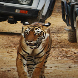 Jeep Safari in Ranthambore in Ranthambore
