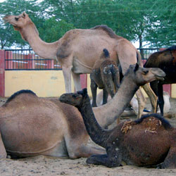 National Research Centre On Camel in Bikaner