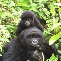 Parc National Des Volcans Rwanda in Northwestern Rwanda