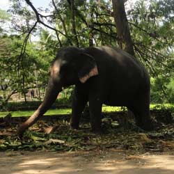 Punnathur Kotta Elephant Sanctuary in Thrissur
