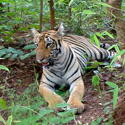 Tadoba Andhari Tiger Project in Chandrapur