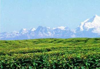 Mountain And Tea Garden Tour