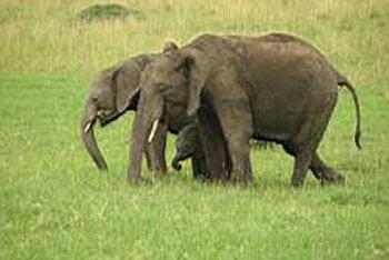 6N/7D Masai Mara, Lake Nakuru, Amboseli Camping Tour