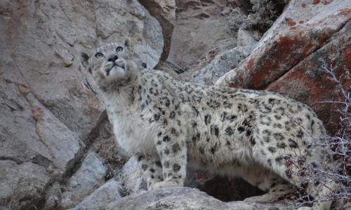 Snow Leopard Trek Ladakh India Tour