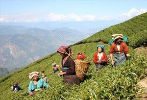 Darjeeling Tea Tasting Tour