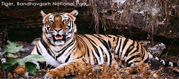Tigers Of The Central India With Golden Triangle