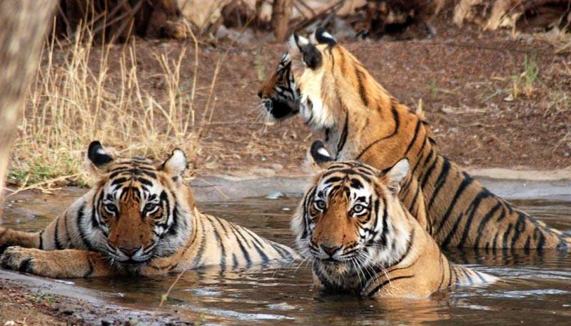 18 Days Tiger Wildlife Tour