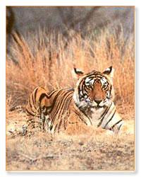 8 Days Tiger Wildlife Tour