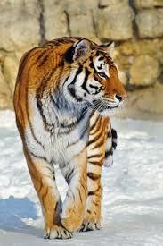 Tigers Galore Tour