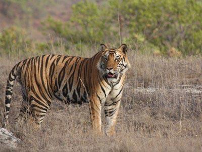 The Land Of Tiger - Madhya Pradesh Tour
