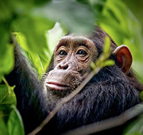 Uganda Chimps And Wildlife Tour