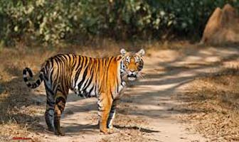 Central India Classic Tiger Tour