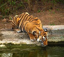 Escape With Tigers Of Sariska Tour