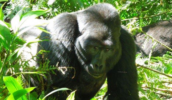 Rwanda Gorillas Safari Tour