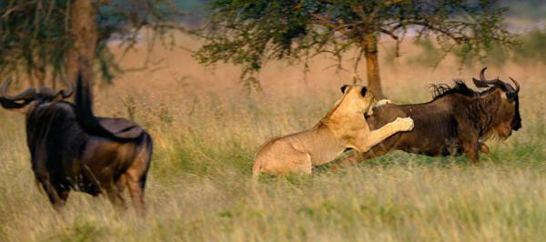 Tanzania Migration Safari Tour