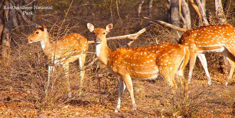 Royal Ranthambore Safari Trip With Golden Triangle Tour