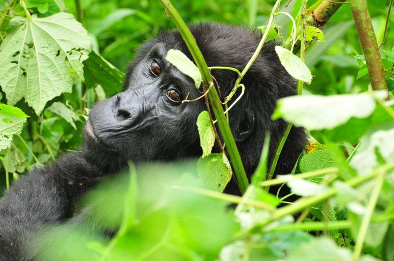 Safari To Lake Mburo, Bwindi Impenetrable Forest & Queen Elizabeth National Parks