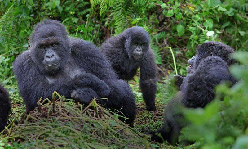 Uganda Gorilla And Game Safari Package