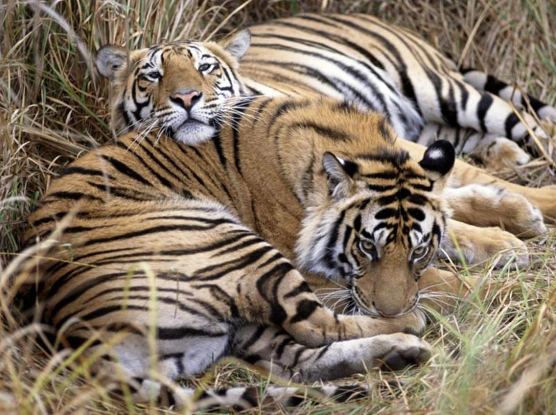 Tiger Photography In Bandhavgarh National Park Tour