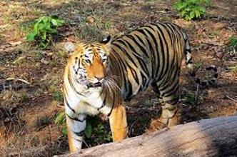 Tadoba – The Land Of Tiger Tour